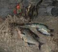 Натюрморт с рыбами